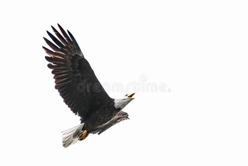 amerykańskiego orła łysego lotu obrazy stock