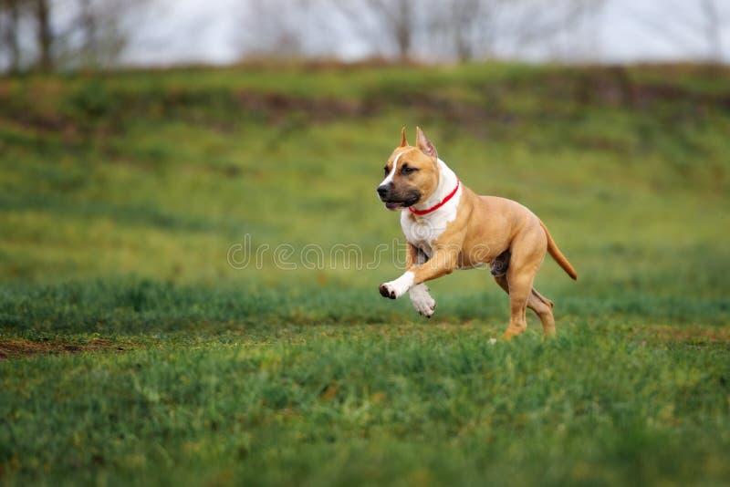 Amerykańskiego Staffordshire teriera pies biega outdoors obrazy royalty free