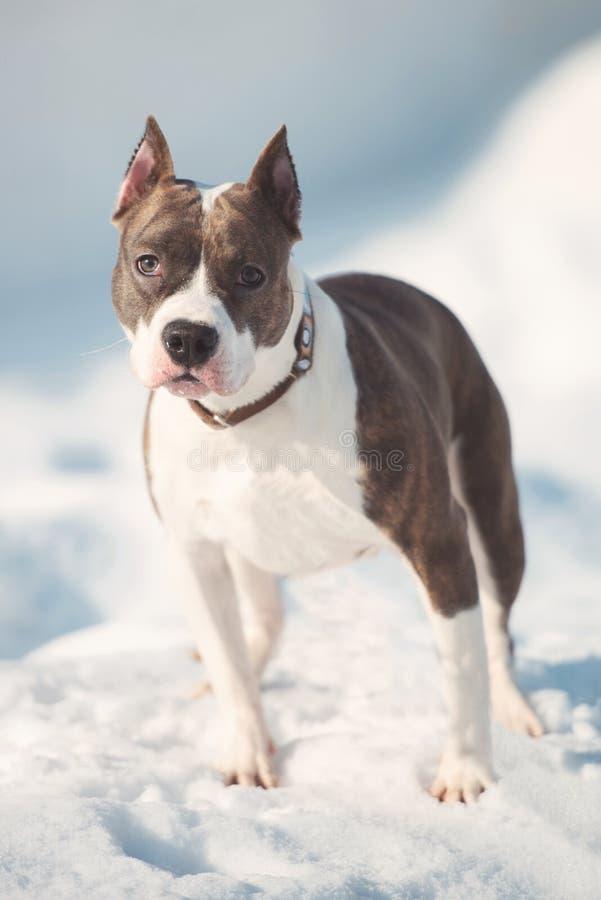 Amerykańskiego Staffordshire teriera psa bieg w zimie zdjęcie stock
