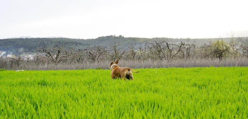 Amerykańskiego Staffordshire teriera psa pozycja na pszenicznym polu zdjęcia stock