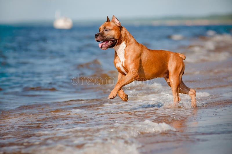 Amerykańskiego Staffordshire teriera psi bawić się na plaży obraz royalty free