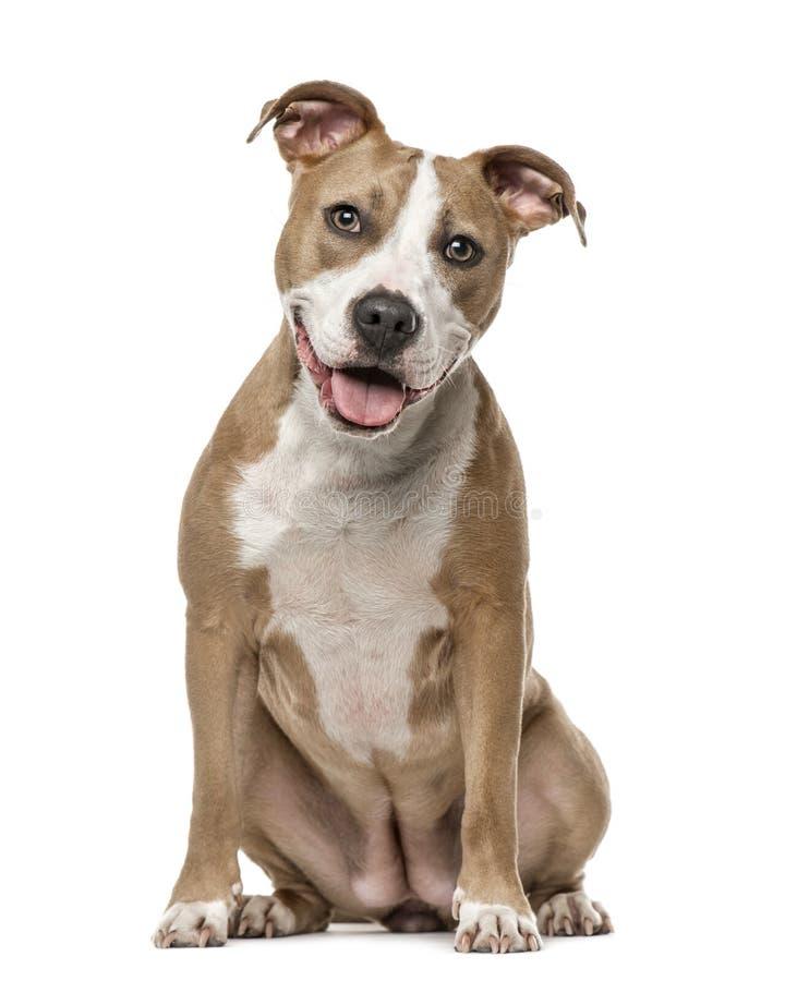 Amerykańskiego Staffordshire Terrier obsiadanie, odizolowywający na bielu fotografia royalty free