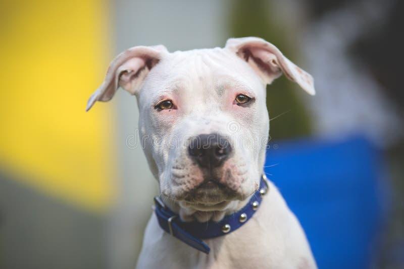 Amerykańskiego Staffordshire Terrier potomstw pies fotografia stock