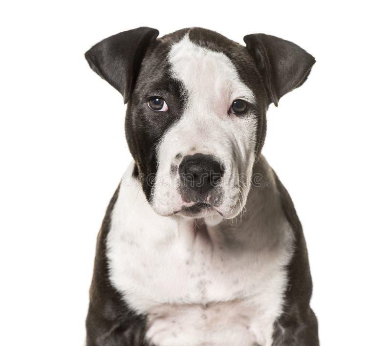 Amerykańskiego Staffordshire Terrier szczeniak, 3 miesiąca starego obrazy stock