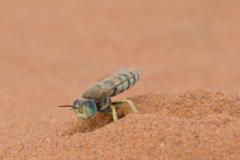 Amerykańskiej piasek osy kopiący piasek w Crex łąk przyrody terenie w Wisconsin zdjęcia stock