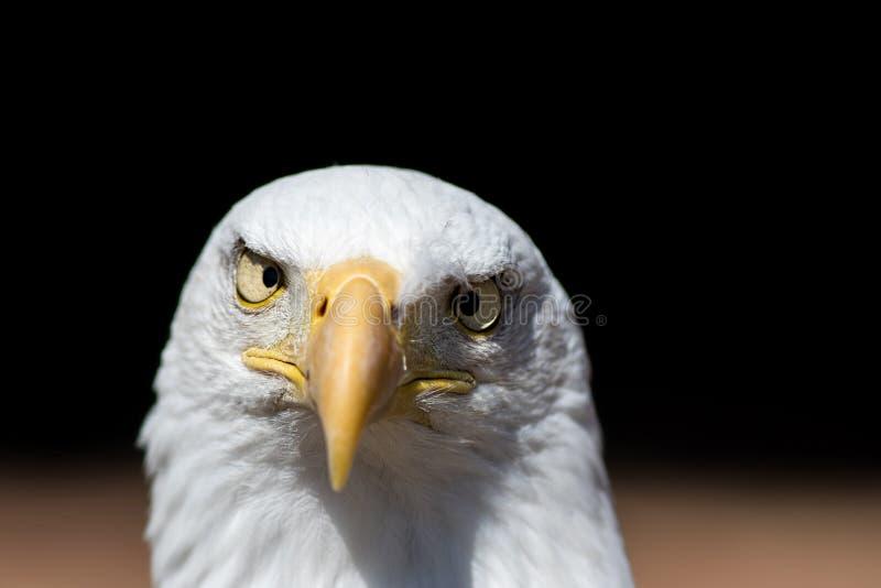 Ameryka iść szalenie Przyglądający się Amerykański łysy orzeł USA obywatela b obrazy royalty free