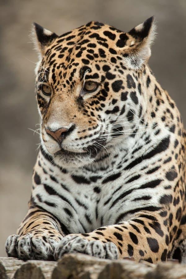 ameryka Krzak wspinaczki centralnego jaguara droughty Moscow żyje northem zajmuje często ponad onca panthera fotografujemy bogaci obraz stock