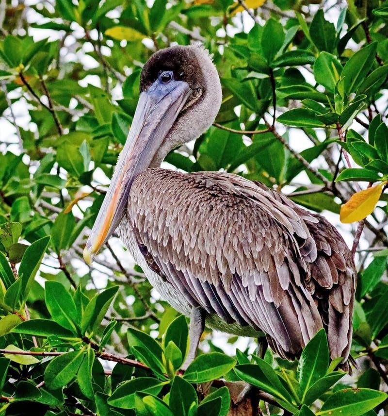 Ameryka?scy br?zu pelikana Pelecanus occidentalis s? P??nocnoameryka?skim ptakiem pelikan rodzina Ma?y pelikany zdjęcie stock