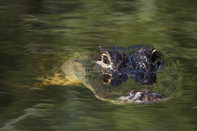 Download Ameryka?ski Aligator W B?ota Na (aligatora Mississippiensis) Obraz Stock - Obraz złożonej z duży, ampuła: 41950043