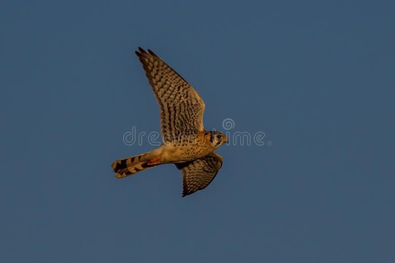 Ameryka?ski Kestrel Falco sparverius zdjęcia stock