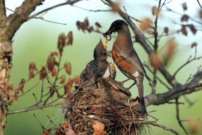 Download Amerykański Migratorius Rudzika Turdus Obraz Stock - Obraz złożonej z ptak, rudzik: 13329565