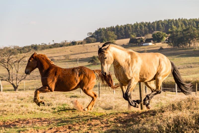 Amerykan koni Kwartalny biegać obraz stock