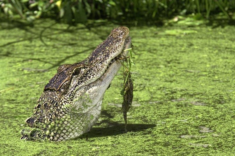 amerykanin aligatora fotografia royalty free