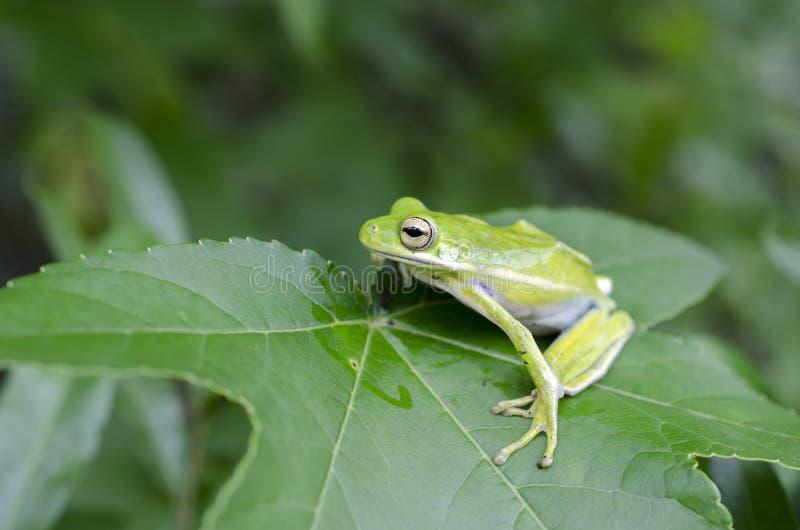 Amerykanin Zielona Drzewna żaba na Sweetgum liściu, Hyla cinerea zdjęcia stock