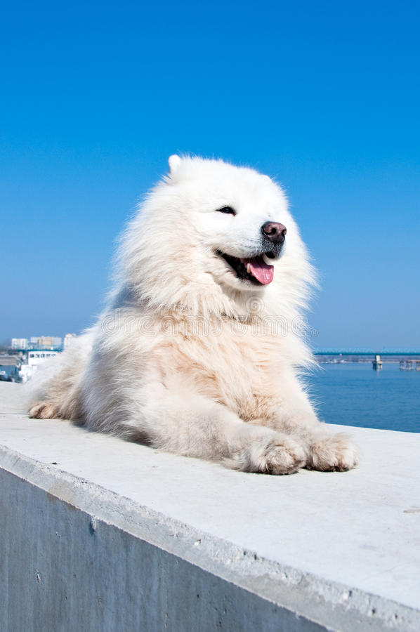 amerykanina samoyed psi obraz royalty free