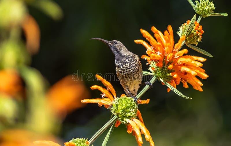 amethyst kvinnligsunbird royaltyfri foto