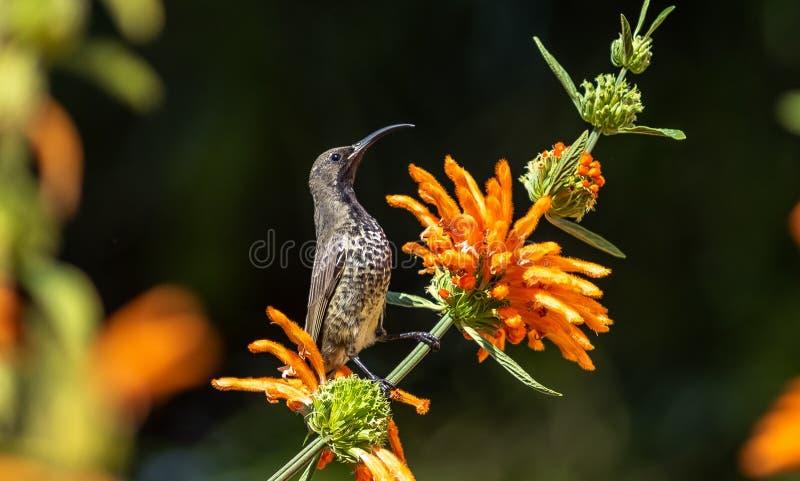 amethyst kvinnligsunbird royaltyfria bilder
