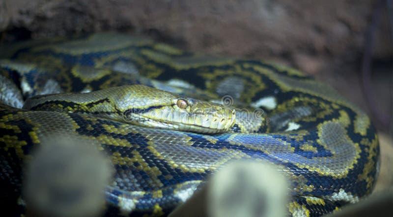 Amethyst Pythonschlange lizenzfreie stockbilder