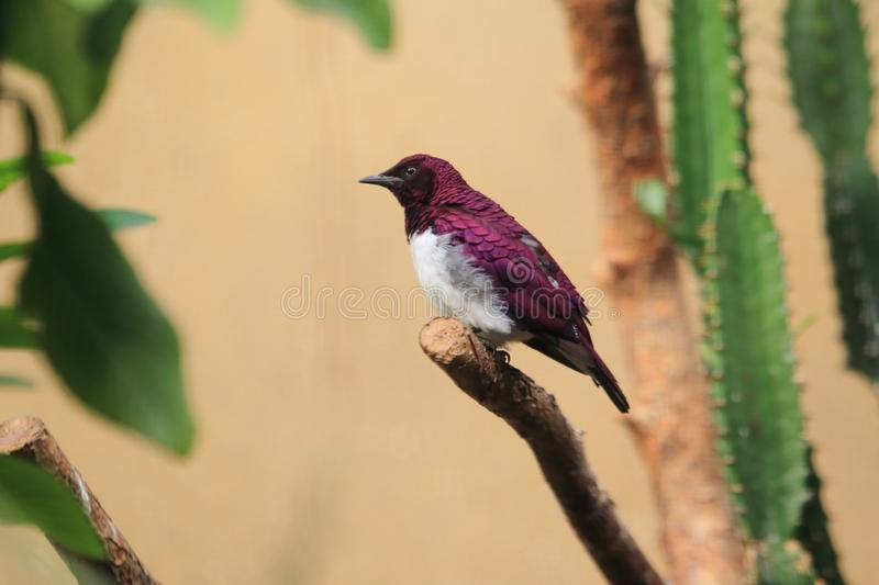 Amethyst starling. Sitting on the tweet royalty free stock photos