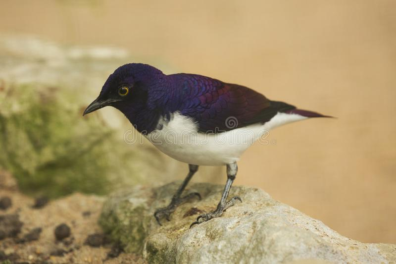 The Amethyst Starling Cinnyricinclus leucogaster. The Amethyst Starling Cinnyricinclus leucogaster in zoo royalty free stock images