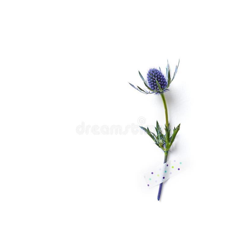 Ametystowy Dennego holly kwiat na białego papieru tle obraz royalty free