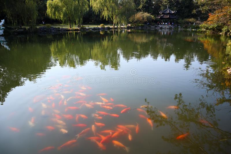Amezing view of golden fish and nature in Hangzhou city. Amezing view of west lake and nature in Hangzhou. Collected, autumn, leaves, amazing, city, outdoor stock photo