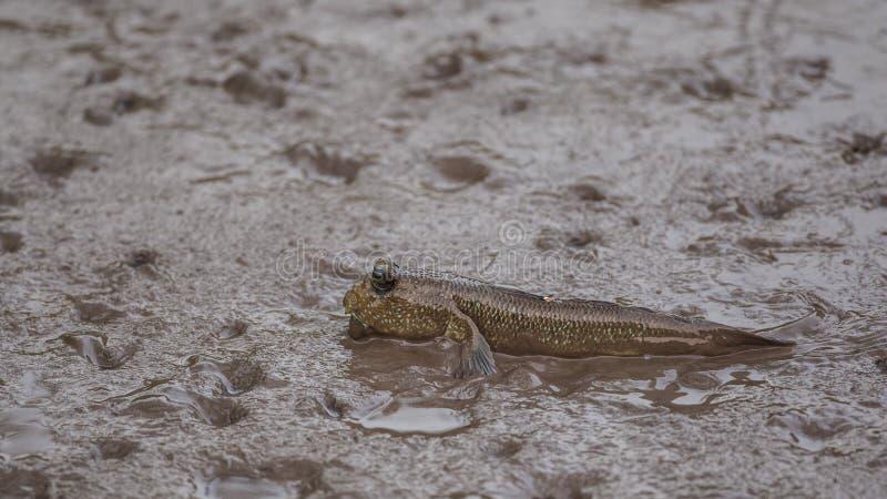 Amfibische Vissen Mudskipper stock afbeelding