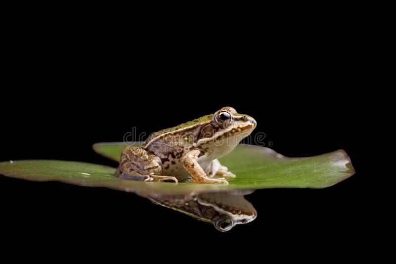 amfibisk reflexion för grodagreendamm royaltyfri bild