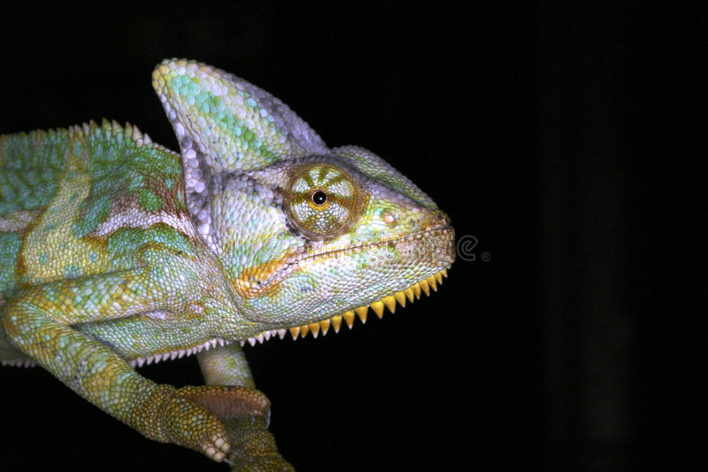 amfibiska kameleontreptilar royaltyfri fotografi