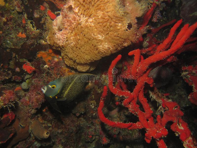 Amgel鱼 免版税图库摄影