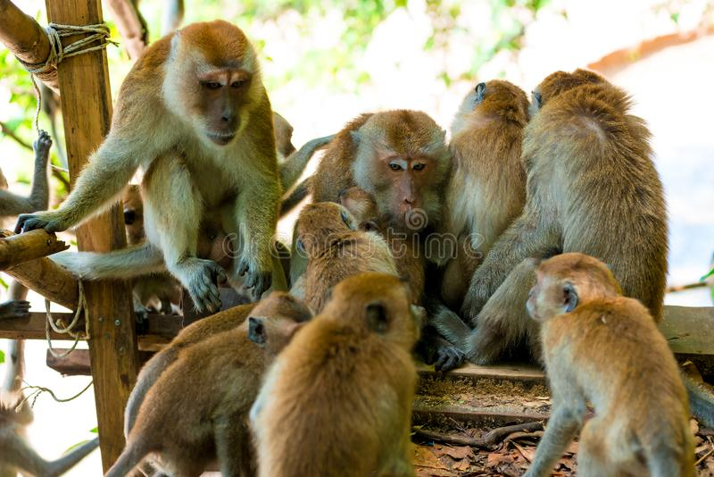 Amicable family of monkeys are kept together stock photos