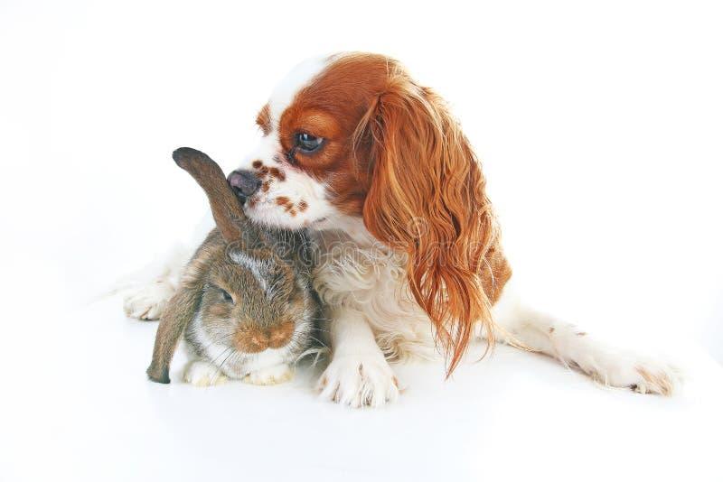 Amici animali Veri amici dell'animale domestico Il coniglietto del coniglio del cane pota insieme gli animali sul fondo bianco de immagine stock libera da diritti
