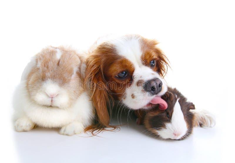 Amici animali Veri amici dell'animale domestico Il coniglietto del coniglio del cane pota insieme gli animali sul fondo bianco is fotografia stock libera da diritti