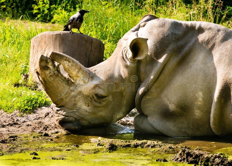 Amicizia di Raven e del rinoceronte immagini stock