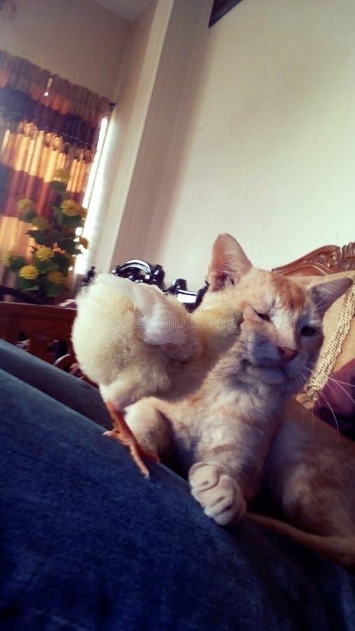 Amico del pollo del gatto adorabile fotografie stock libere da diritti