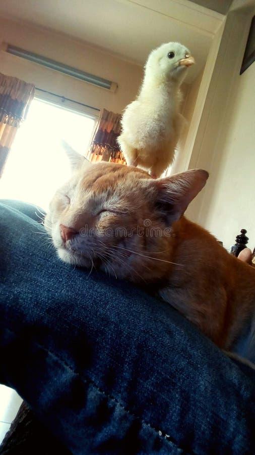 Amico del pollo del gatto adorabile immagini stock libere da diritti