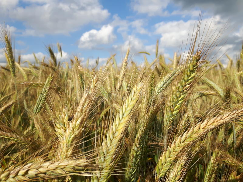 Wheat field top stock images