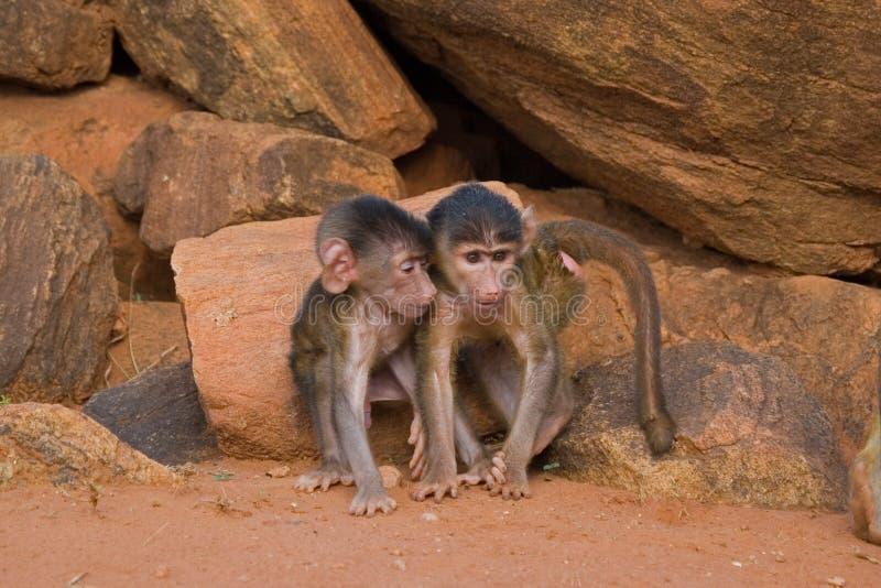 Amies de chéri de babouin images stock