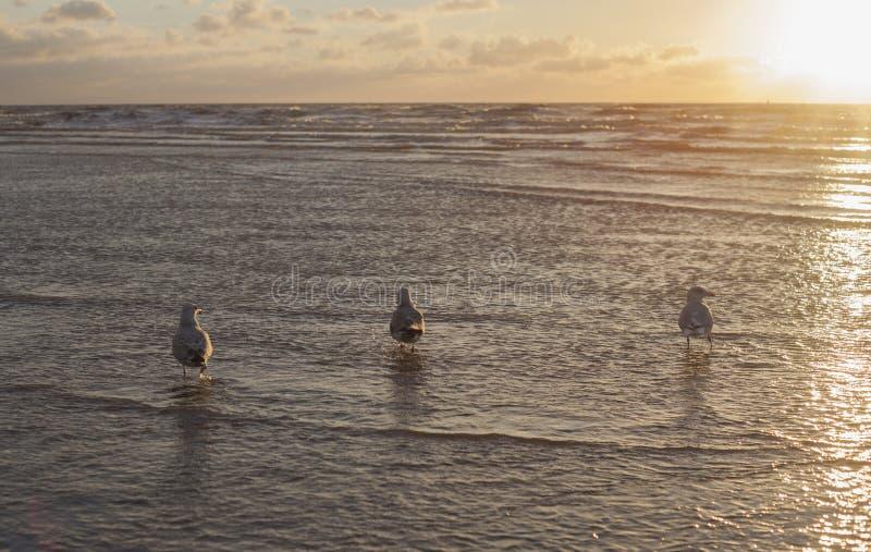 3 Amigos чайки стоковое фото