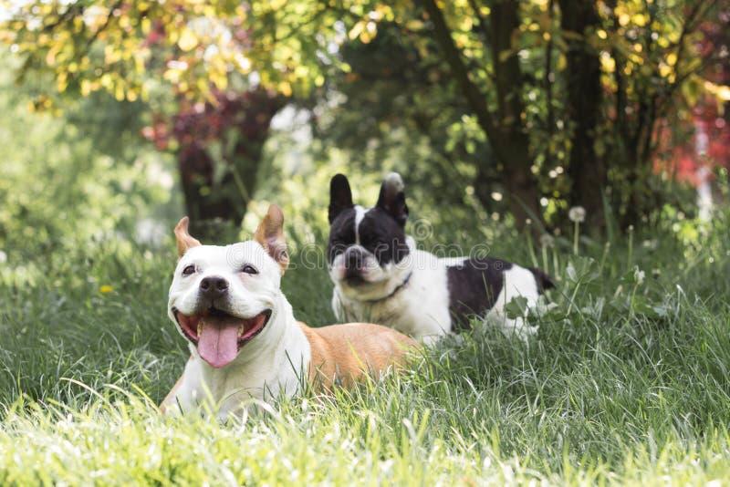 Amigos del perro de Staffordshire y del dogo francés, felicidad de sensación fotografía de archivo
