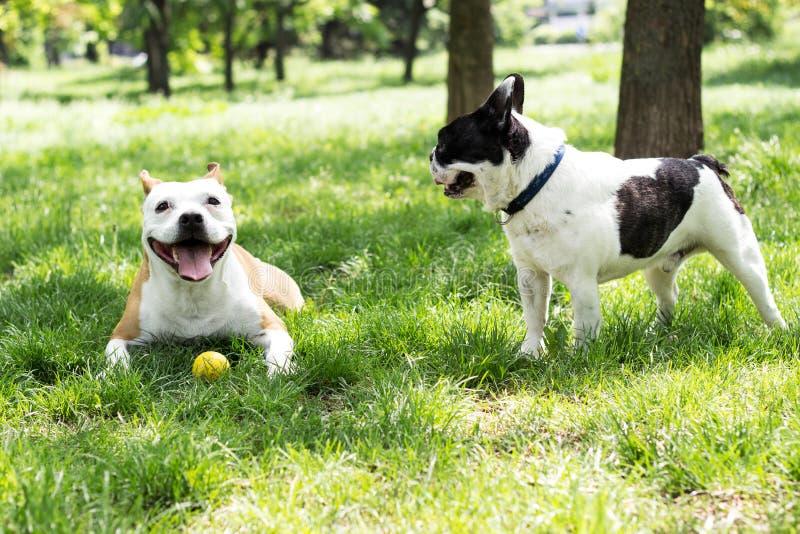 Amigos del perro de Staffordshire y del dogo francés imagen de archivo libre de regalías