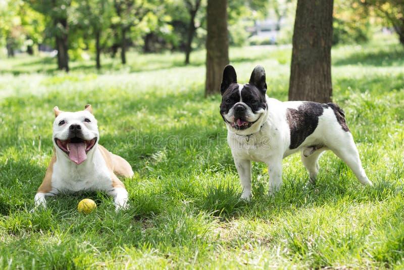Amigos del perro de Staffordshire y del dogo francés foto de archivo libre de regalías