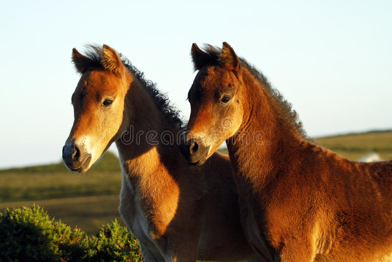 Amigos do pônei de Dartmoor para sempre. foto de stock