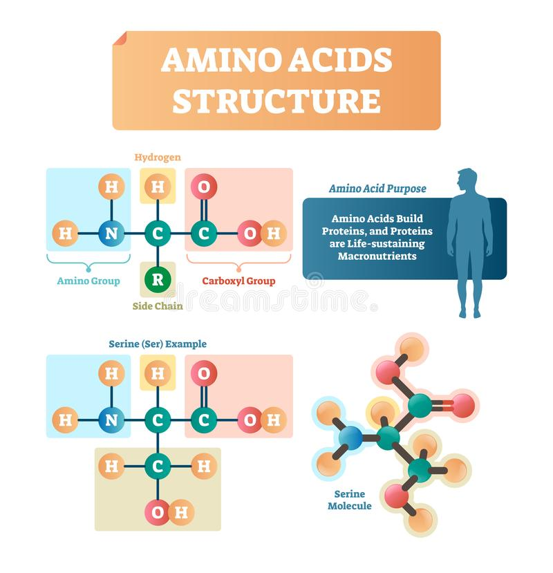 Amino acids structure vector illustration. Serine molecule diagram. stock illustration