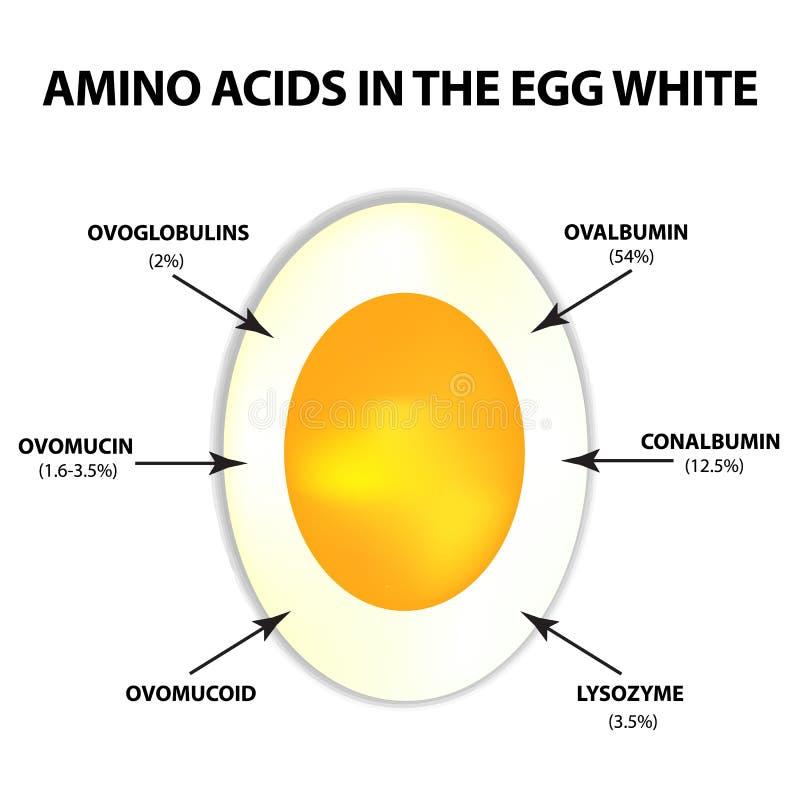Amino kwasy w jajecznym bielu Infographics Wektorowa ilustracja na odosobnionym tle royalty ilustracja