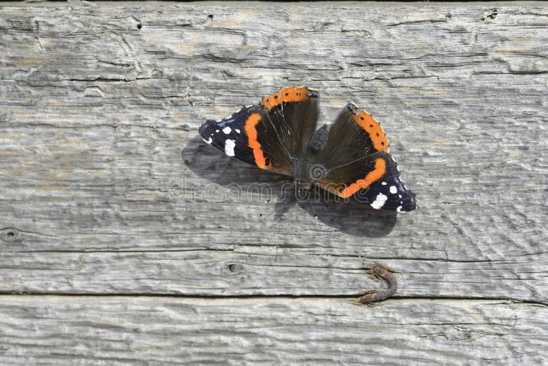 Amiral Butterfly stock photos