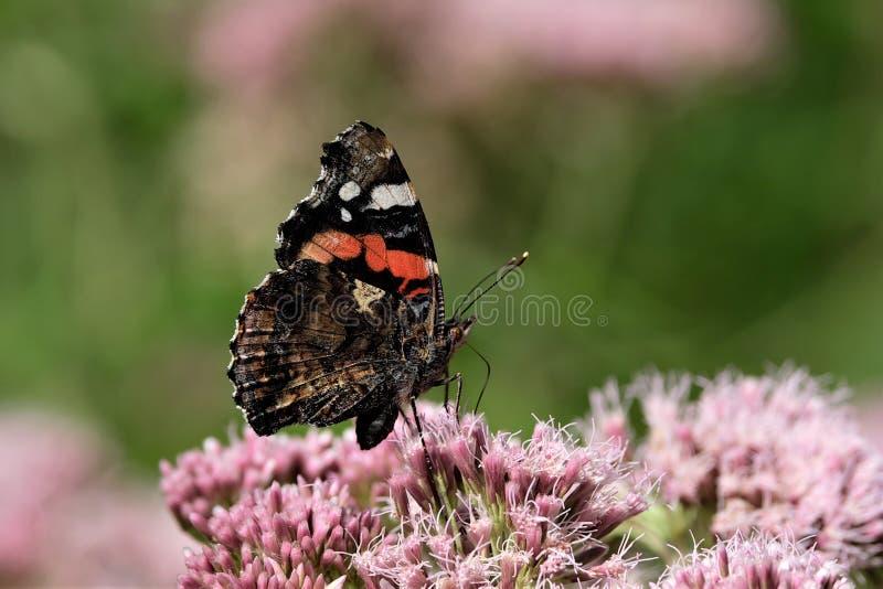 Amiral de papillon sur la fleur rose photo stock