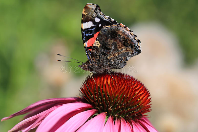 Amiral rouge Butterfly Feeding sur Coneflower photographie stock