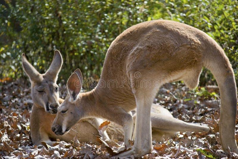 Amis de kangourou photo stock