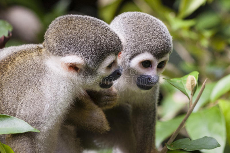 Amis de singe photo stock